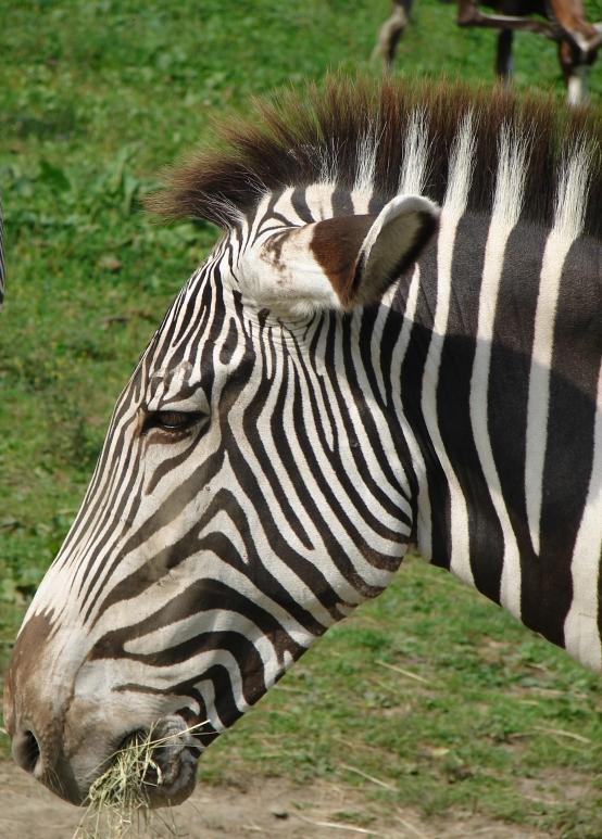 ZOO Ostrava - zebra