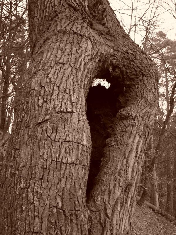 vykotlaný dub