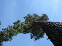 borovice cerna