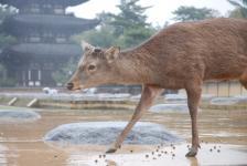 jelínek a pagoda v Narském dešti