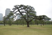 borovice alá Nippon
